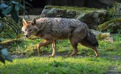 Golden jackal 2016-04-14-0490 (bzd1) Tags: animals dogs goudjakhals roofdieren jakhals animal mammal carnivore canidae canis burgerszoo goldenjackal canisaureus nature