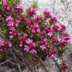 Flora of the Burren 10 (Michael Foley Photography) Tags: county ireland plants ice flora mediterranean clare glacier alpine age limestone burren clints artic climate coclare galwaybay temperate grikes grykes