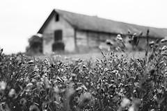 Depth of field (jarnasen) Tags: flowers blackandwhite bw copyright monochrome field barn landscape 50mm mono nikon sweden crop sverige nikkor nikon50mmf18 d810 slattefors nordiclandscape jarnasen jrnsen