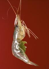 Shrimp, eggs (Fazar Photography) Tags: sea fish macro small shrimp tiny eggs carrying sigma105 nikond750
