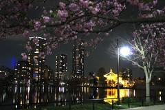 Metti una sera a Tokyo (iremagi) Tags: japan tokyo sakura giappone notturno riflesso ciliegi marcogiunta