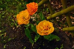 Spring (ChemiQ81) Tags: flower spring poland polska polish tulip polen polonia jaro pologne wiosna kwiat tulipan 2016  polsko  puola plland lenkija pollando   poola poljska polija pholainn     chemiq polanya lengyelorszgban