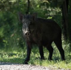 wild boar#3 (Schattentaucher) Tags: wild natur boar eber wildschwein