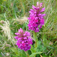 Wild orchids (gowersaint) Tags: europe ireland donegal orchid wild malinhead malin remote mothernature natural nature flora species purple colourful colour petals grass headland small