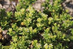Honckenya, Salzmiere, Strandportulak (julia_HalleFotoFan) Tags: pflanzen ostsee fehmarn honckenya inselfehmarn strandportulak salzmiere