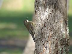 Cormobates leucophaeus 7 (barryaceae) Tags: road point australia willow nsw treecreeper whitethroated leucophaea cormobates nabiac ausbird ausbirds