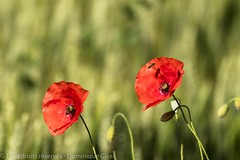 Coquelicots - Poppies (dom67150) Tags: red flower green fleur rouge spring bokeh vert poppies printemps coquelicots