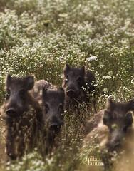 Piggy-Wiggy with his brothers (milanlantos) Tags: wild nature nikon wildlife boar vr afs 70300 piggywiggy