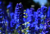 Blue (Tracy Christina) Tags: flowers delphinium larkspur july summer sunshine bokeh blue tritonblue