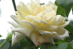 Mein Gott, in was fr Eitelkeit (amras_de) Tags: flower fleur rose flor rosa roos blomma rosen gl blume fiore blte blomst rs rozen virg lore bloem blm iek floro roser kwiat flos ciuri kvet arrosa kukka rozes cvijet vrtnica flouer blth cvet zieds ruusut is trandafir floare rza rua rzsa blome rozo iedas roe rue rosslktet
