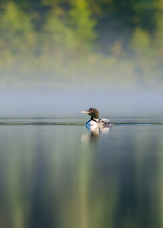 Plongeon Huard - Great Northern Loon
