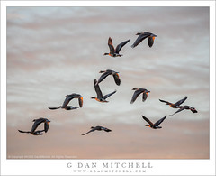 Geese at First Light (G Dan Mitchell) Tags: california winter usa nature birds america geese wildlife north central flight national valley migratory sacramento refuge bif colusa