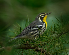 Yellow Throated Warbler (evilpigeon777) Tags: new yellow pine forest state evergreen jersey warbler throated belleplain