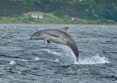 Young Bottlenose Dolphin Breaching. (richbriggs28. Love being a grandad :)) Tags: richbriggs28 rosemarkie dolphin dolphins bottlenosedolphin blackisle inverness scotland chanonrypoint fortgeorge fortrose morayfirth breaching