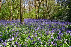 A Carpet of Blue (Sharon Dow - Arm Op 16th May = No Photography :'-() Tags: uk flowers blue trees england plants nature bluebells woodland sussex woods nikon westsussex britain wildlife south british bluebellwoods childhoodmemories southernengland goosegreen pulborough hyacinthoides 2013 hyacinthoidesnonscripta scillanonscripta thakeham nonscripta endymionnonscriptus d3100 bulbousperennialplant sharondowphotography sharondow acarpetofblue