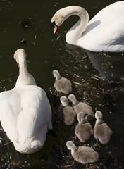 six bundles of fluff ~ Explored #4 (Wendy:will catch up ASAP!) Tags: may swans cygnets belfield explored tp555