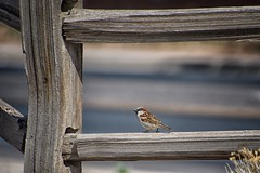 chirping into another weekend (bytegirl24) Tags: newmexico santafe bird hff happyfencefriday