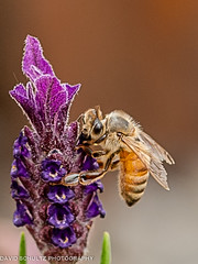 Honey bee (dschultz742) Tags: macro nikon tokina honeybee kenwood spanishlavender lavandulastoechas nikonians d700 tokina100mmf28atxprod davidschultzphotographycom mountbakercameraclub 05082013