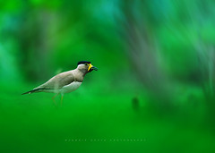 Yellow wattled Lapwing (mechstar) Tags: mountain green bird yellow nikon cyan magenta parent lapwing 500mm f4 gupta sandip nilgiri wattled onground vanellus malabaricus fastfly d5000 sharpcall