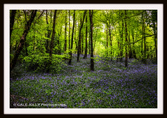 The Bluebells are back.... (Gale's Photographs) Tags: flowers blue bluebells forest woods nikon d90 nikond90 walktothewoods 18105vr carpetofblue