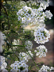 Sweet Alyssum 3 (FreeWine) Tags: flowers moon white snow garden princess sweet alyssum lobularia