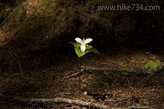 """Trillium • <a style=""""font-size:0.8em;"""" href=""""http://www.flickr.com/photos/63501323@N07/8733253871/"""" target=""""_blank"""">View on Flickr</a>"""