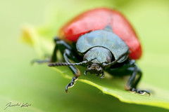 Chrysomela populi / Mandelinka topolov (Jaroslav Kaas) Tags: red black animals canon leaf head insects beetles arthropods animalia arthropoda coleoptera chrysomelidae insecta leafbeetles bilateria taxonomy:class=insecta taxonomy:kingdom=animalia taxonomy:order=coleoptera taxonomy:family=chrysomelidae taxonomy:phylum=arthropoda taxonomy:subclass=pterygota taxonomy:suborder=polyphaga camera:make=canon taxonomy:superfamily=chrysomeloidea taxonomy:subfamily=chrysomelinae exif:make=canon exif:iso_speed=1600 exif:aperture=f8 taxonomy:infraclass=neoptera taxonomy:subphylum=hexapoda exif:flash=off taxonomy:binomial=chrysomelapopuli taxonomy:species=populi taxonomy:genus=chrysomela camera:model=canoneos7d exif:model=canoneos7d taxonomy:division=bilateria taxonomy:subdivision=protostomia taxonomy:subkingdom=eumetazoa taxonomy:infraorder=cucujiformia taxonomy:tribe=chrysomelini exif:tripod=on exif:exposure=1160sec taxonomy:cohort=holometabola exif:lens=canonmpe65mmf2815xmacrophoto original:filename=img27209jpg taxonomy:subgenus=chrysomela