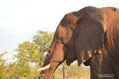 DSC_8312 (Arno Meintjes Wildlife) Tags: africa wallpaper elephant southafrica wildlife safari krugerpark africanelephant loxodontaafricana africanbushelephant arnomeintjes