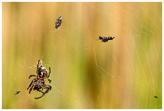 Spider. (vegetus aer) Tags: spider cambridgeshire wildlifetrust woodwaltonfen nnr greatfen greatfenproject bcnwildlifetrust