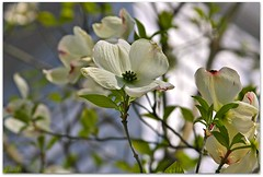 the ecstasy of Dogwood buds blossoming! (colorfulexpressions) Tags: spring 6ws sixwordstory dogwood quotations lrp annemorrowlindbergh colorfulexpressions halborland