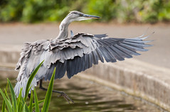 Flaps down for landing (Steve-h) Tags: park ireland dublin green bird heron nature water canon reeds eos grey fly flying blog pond europe zoom action gray flight eire blogs landing telephoto bloggers blogging allrightsreserved stubborn landingapproach rathfarnham canonef100400mmf4556lisusm stubbornness 13513 bushpark greatgreyheron steveh canoneos5dmkii canoneos5dmk2 may2013