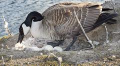 Nester - Canada Goose
