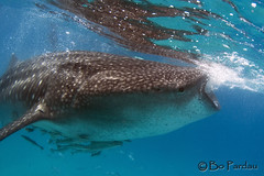 Whale Shark (bodiver) Tags: ambientlight philippines wideangle freediving cebu whaleshark fins oslob