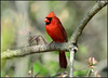 Male Northern Cardinal   18 (Diane G. Zooms---Mostly Off) Tags: nature birds cardinal cardinals northerncardinal wildbirds redbirds coth theworldwelivein fantasticnature avianexcellence northernmalecardinal cardinalphotos coth5 sunrays5