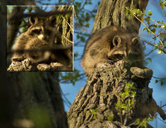 Raccoon (ritchey.jj) Tags: raccoon