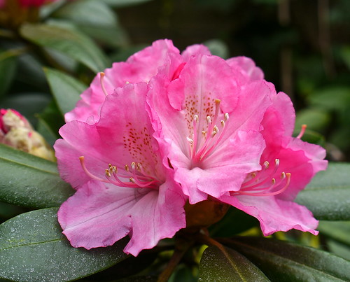 Pink rhododendron in the garden .