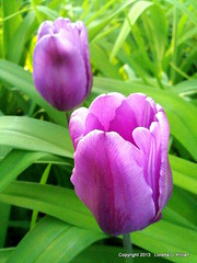 Light Purple Tulips (Peachhead (1,000,000 views!)) Tags: flower primavera fleur bulb garden petals spring backyard blossom flor tulip bloom blume fiore printemps molla fruhling