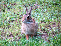 little bunny brown legs (natureburbs) Tags: rabbit bunny backyardwildlife newjerseywildlife
