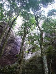 Reaching for Light (Bad Alley) Tags: trees cliff forest rainforest australia queensland springbrooknationalpark springbrookplateau
