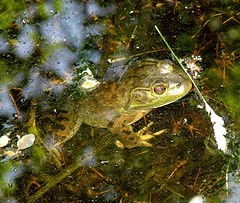 Wednesday frog (EcoSnake) Tags: wildlife frog amphibians bullfrog naturecenter invasivespecies ranacatesbeiana northamericanbullfrog idahofishandgame