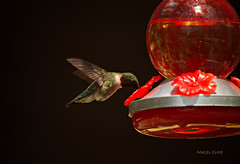 DSC_0008 (Angel Cher ) Tags: hummingbird rubythroatedhummingbird angelcher