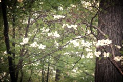 Dogwood Found (she wolf-) Tags: she door tree by aka happy one for photo wolf looking know property front m diane always they through dogwood did kramer find wished a screenout distancefound