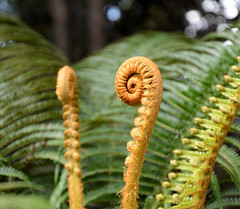 Fiddlehead (Buzz Hoffman) Tags: fern hawaii fiddlehead bigisland hawaiivolcanoesnationalpark