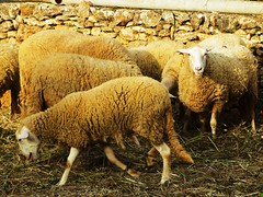 Ibiza (michelluso) Tags: sheep ibiza ovejas