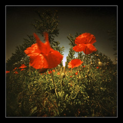 Poppies day (2013) # 1 (Roberto Messina photography) Tags: film xpro pinhole filter expired sephia zero2000 velvia50