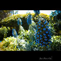SONY DSC-RX100 Carl Zeiss Vario-Sonnar T* 28-100mm F1.8-4.9 (Jean-Pierre C.) Tags: flower sony corsica cybershot rx100 zeiss mygearandme dscrx100 variosonnar