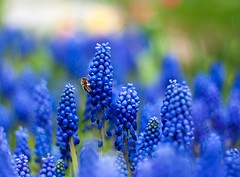 modr je dobr (Veronika Janu) Tags: morning blue green nature spring bokeh meadow fresh bee honey dew feelings