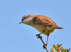 Whitethroat (Alan.Edmondson) Tags: uk nature birds nikon flickr wildlife sigma explore devon perch handheld z winged rspb edmondson nbw hsm explored avianexcellence 150500 distinguishedpictures d7000 distinguishedbirds nikond7000 iplymouth
