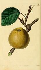 n243_w1150 (BioDivLibrary) Tags: fruitculture greatbritain periodicals umassamherstlibrariesarchiveorg bhl:page=21999695 dc:identifier=httpbiodiversitylibraryorgpage21999695 artist:name=augustainneswithers artist:viaf=95819243 greyfrenchreinette taxonomy:binomial=malusdomestica womeninscience augustainneswithers q2870951 illustrator:wikidata=q2870951 hernaturalhistory