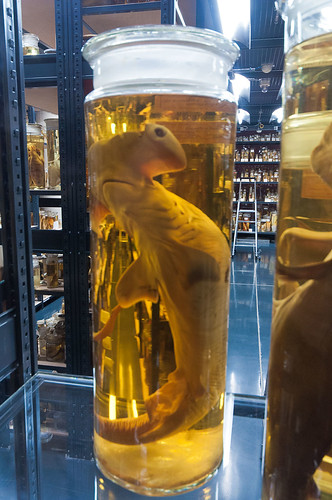 Hammerhead Shark In Alcohol